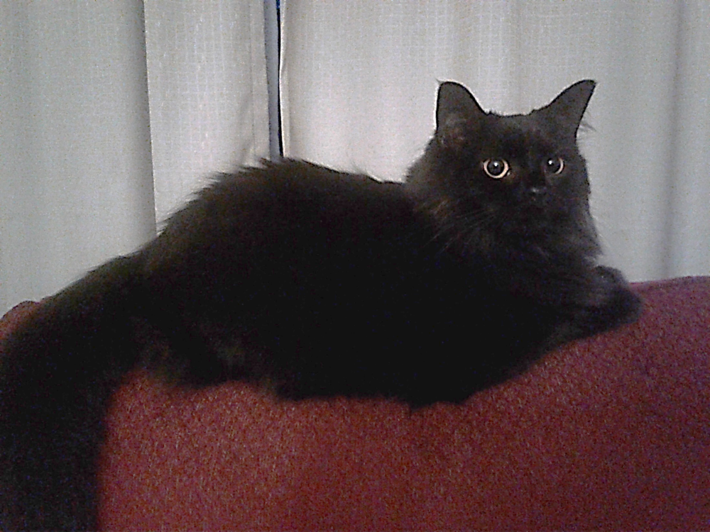 Murder Cat, pictured here on the back of the writing chair, serves double duty as judgmental cat. This is her being judgmental.