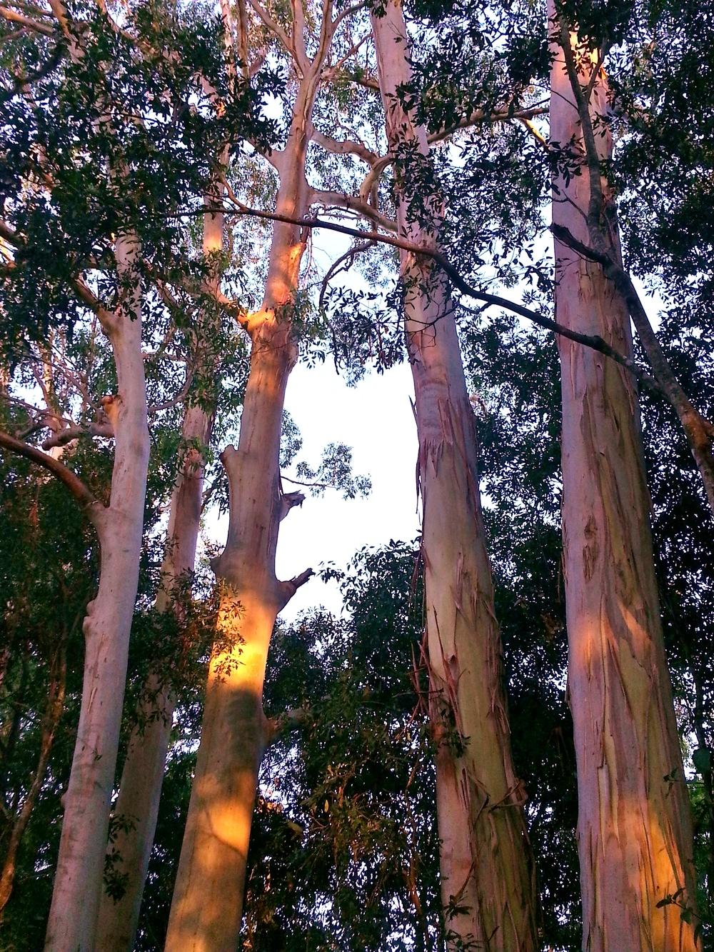 Australian Gum Trees.jpg