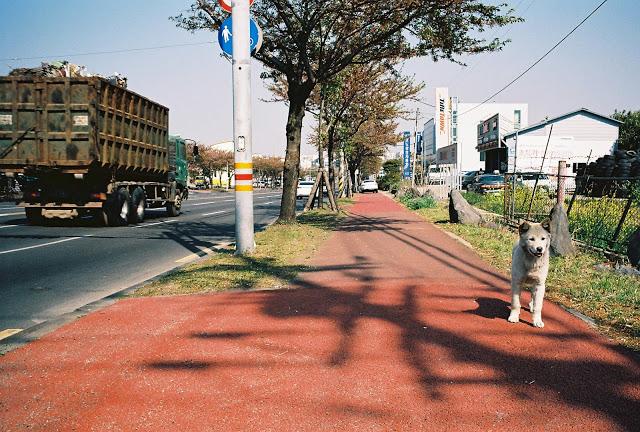 Roaming off-leash near a major road in Jeju-si.