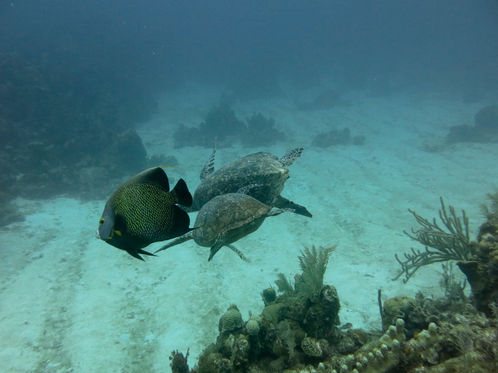 I'd never seen this before: Two turtles getting in a bit of a scrap on the reef, with one chasing the other away from his elongated flower coral; the French angelfish are always loitering around turtles to pick up the coral scraps.