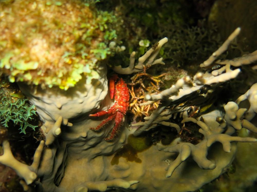 Plumed hairy crab; Roatán, Honduras.