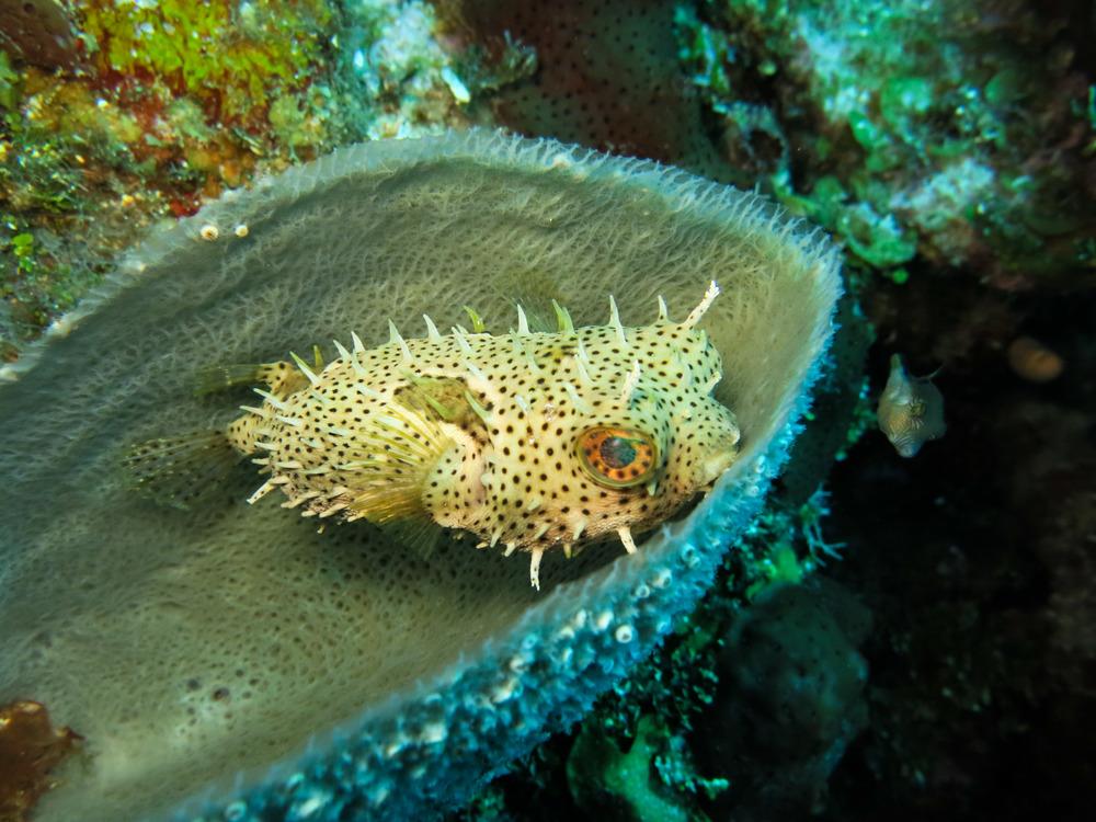 Burrfish in a vase sponge; Roatán, Honduras.