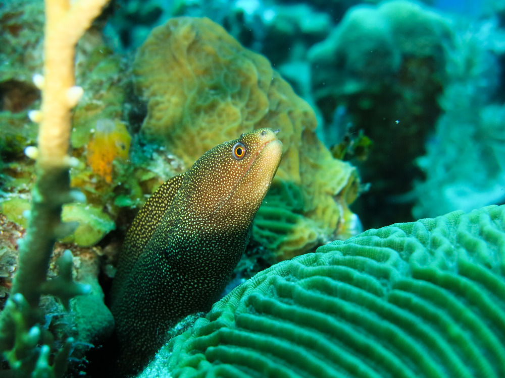 Goldentail moray eel, peeking out behind some brain coral; Roatán, Honduras.