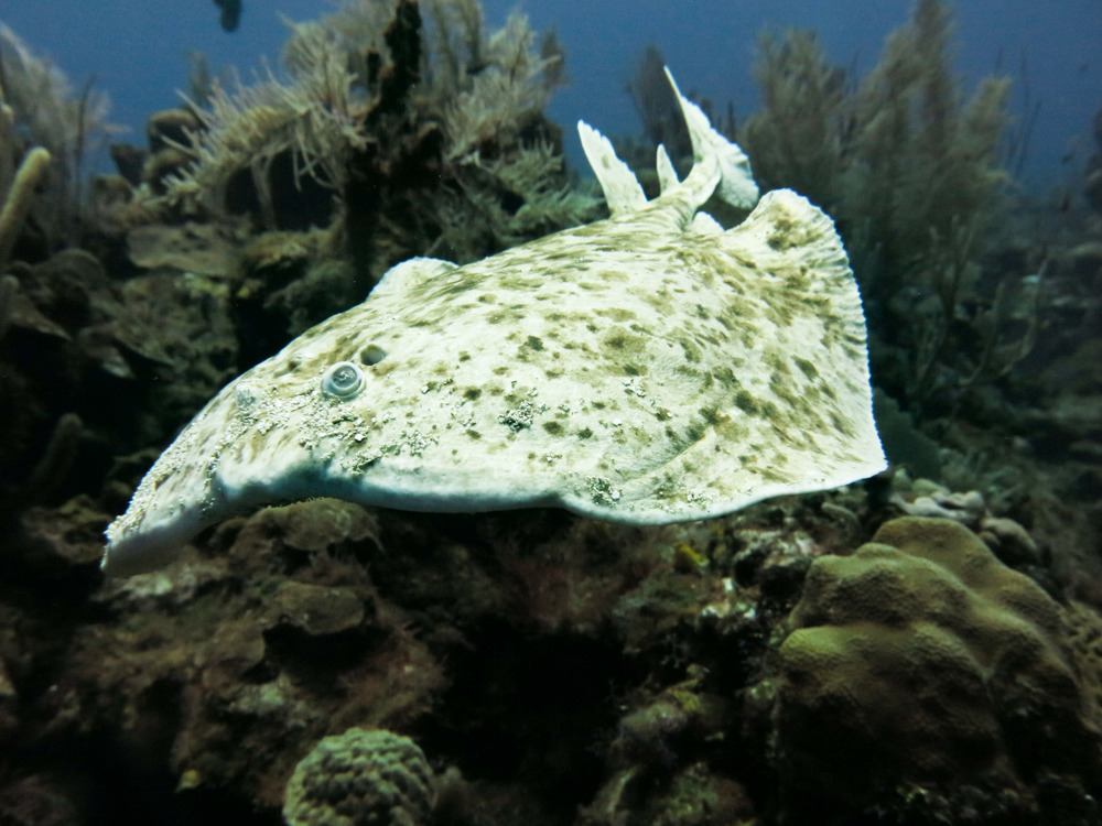 Torpedo ray, rare in the Caribbean; Roatán, Honduras.