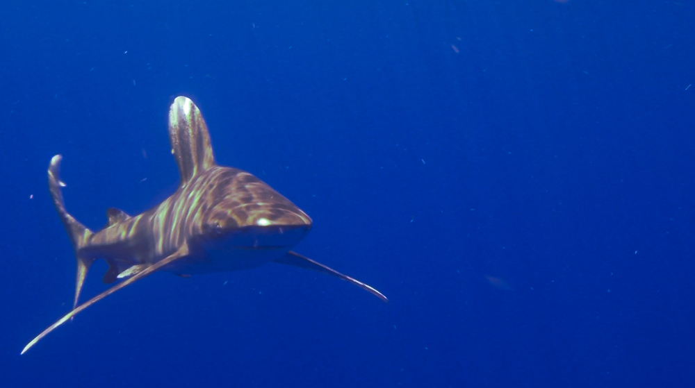 One of the oceanic whitetip sharks that we spotted off the coast of Roatán, on our way to the Odyssey wreck.
