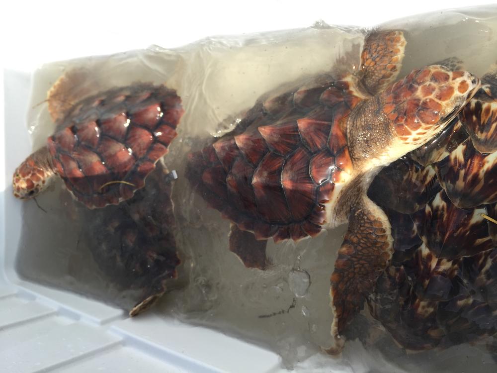 Three loggerhead sea turtles, and one hawksbill sea turtle.