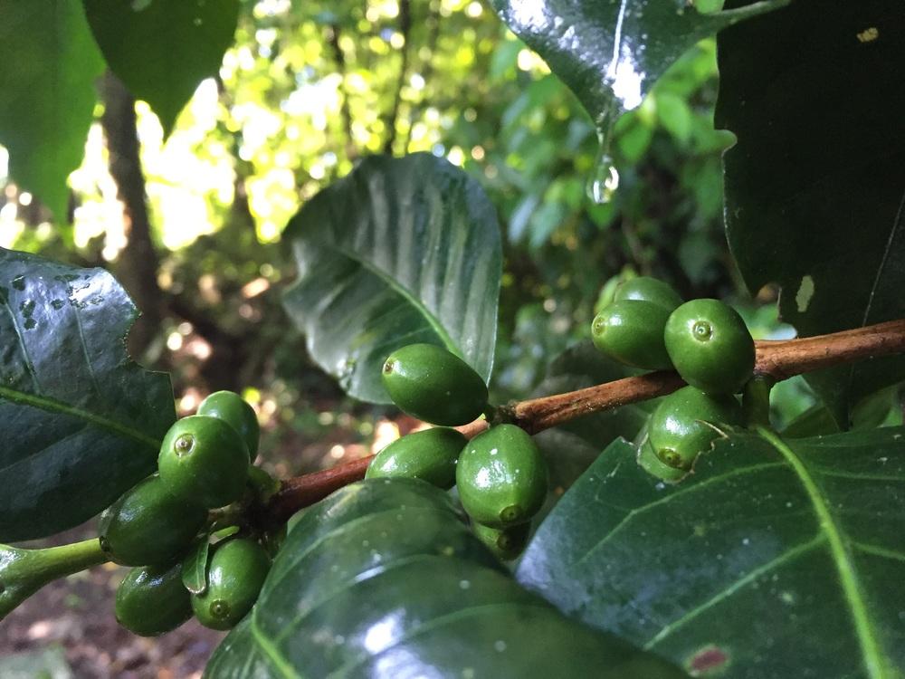 Honduran coffee growing in front of unexcavated Lenca ruins.