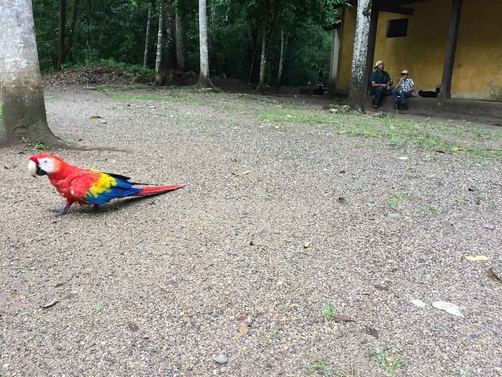 Scarlet macaw in Copán, Honduras.