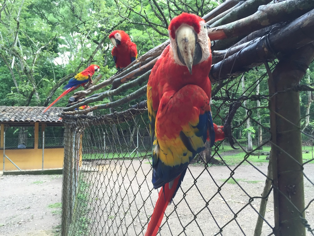 Scarlet macaws at the entrance to the archaeological Mayan ruins in Copán, Honduras.