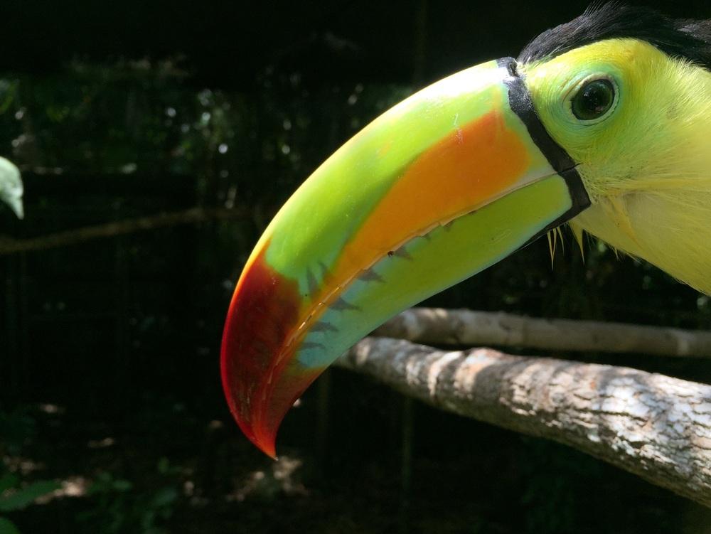 Keelbilled toucan.
