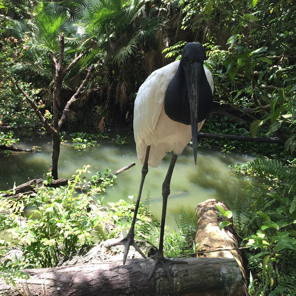 Jabiru stork, albeit at the Belize Zoo. Its mother was shot and killed when it was a baby.