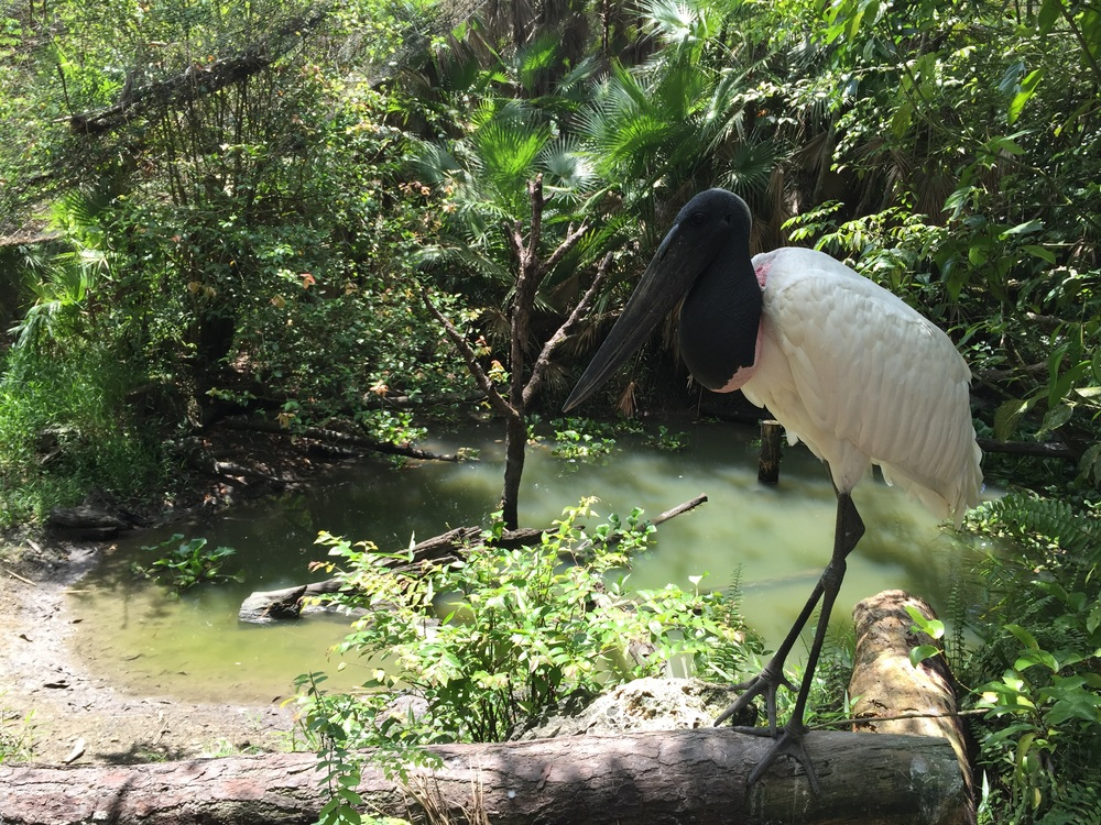 Jabiru stork at Belize Zoo.