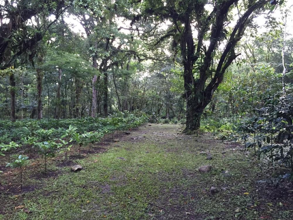 Coffee plantation in Los Naranjos, Honduras.