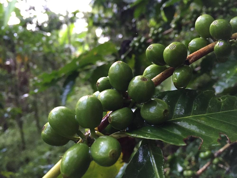 Coffee growing in Los Naranjos, Honduras.