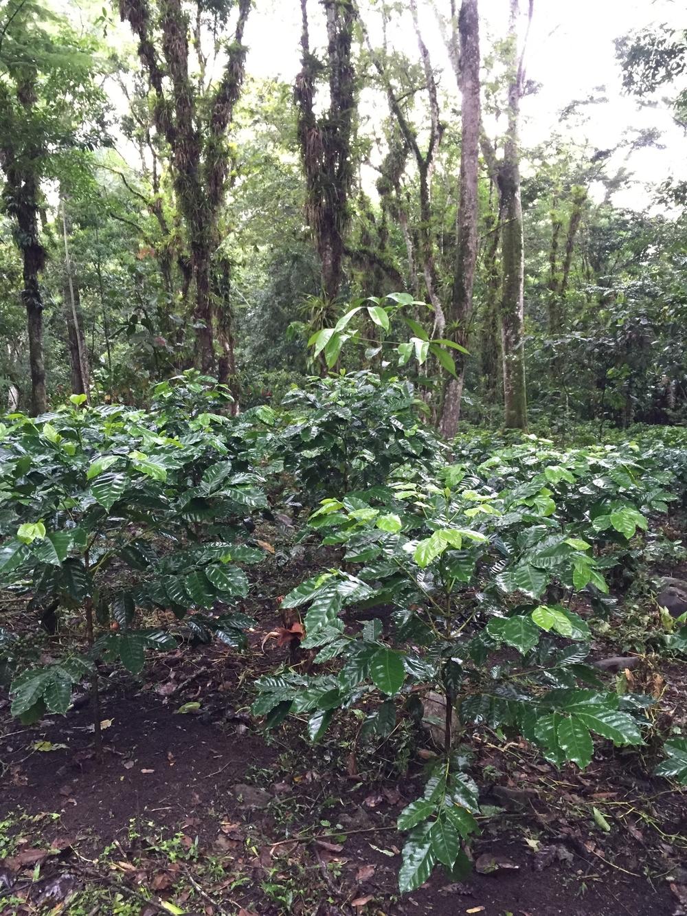 Shade-grown coffee in Los Naranjos, Honduras.