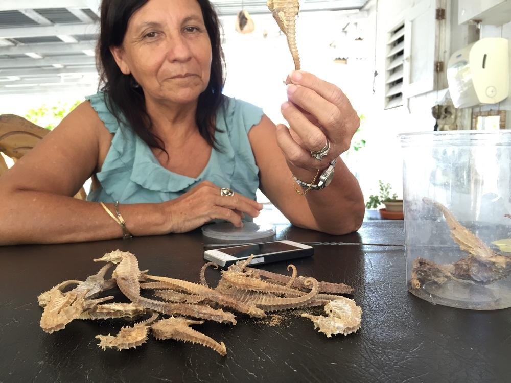 Jonesville, Roatán, Bay Islands, Honduras. Dead seahorses collected from the bycatch of shrimp boats.