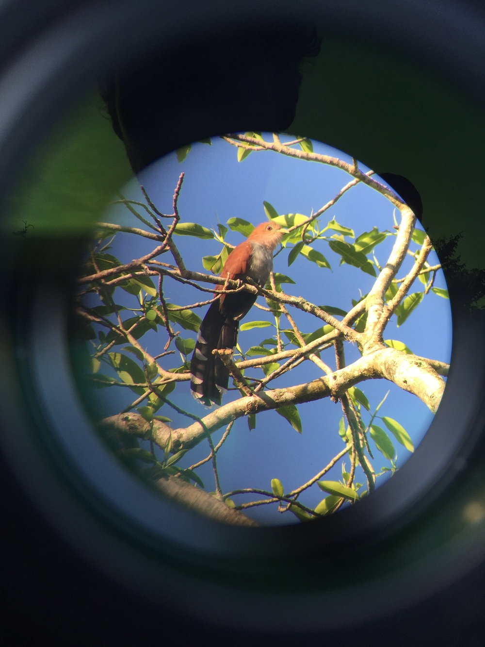 Squirrel cuckoo seen in Honduras.