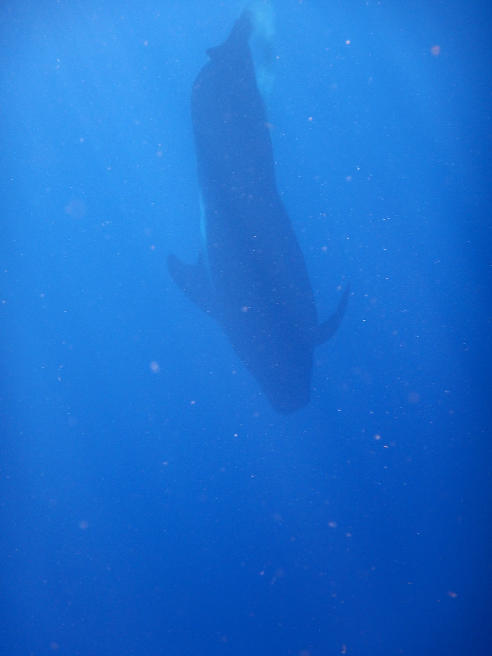 One of the many pilot whales we spotted today, just off the coast of Honduras.