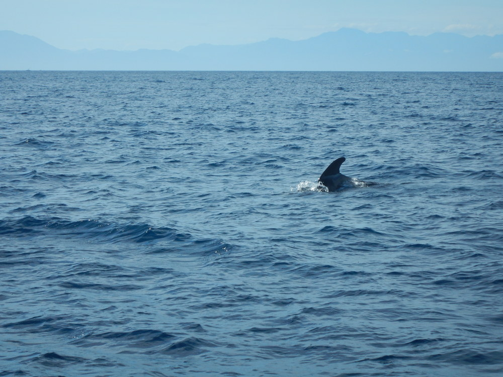 The mainland of Honduras can be seen in the background, as seen from the Caribbean Sea, off the coast of Roatán near Half Moon Bay in West End. One of maybe two dozen pilot whales surrounding the boat.