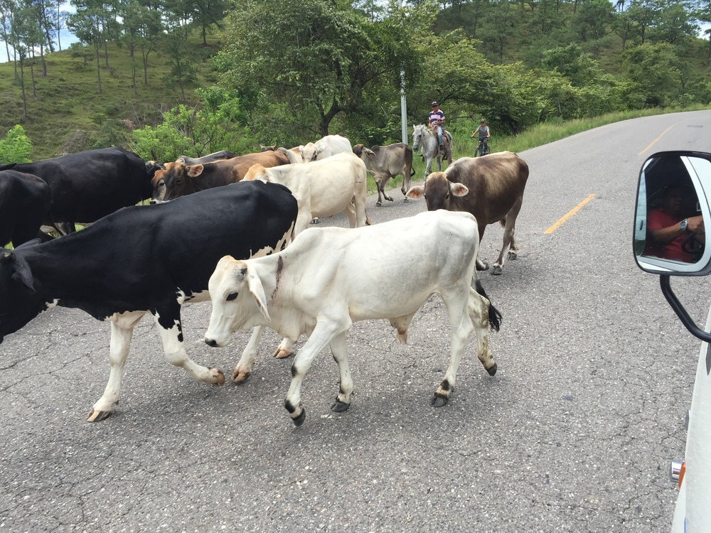 Cattle roadblock in Florida, Honduras.