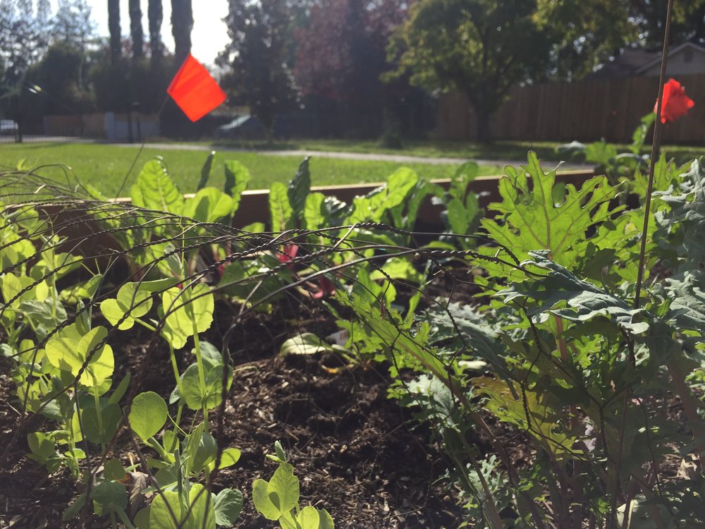 We've also got peas,broccoli, cauliflower, kale, spinach, and garlic.