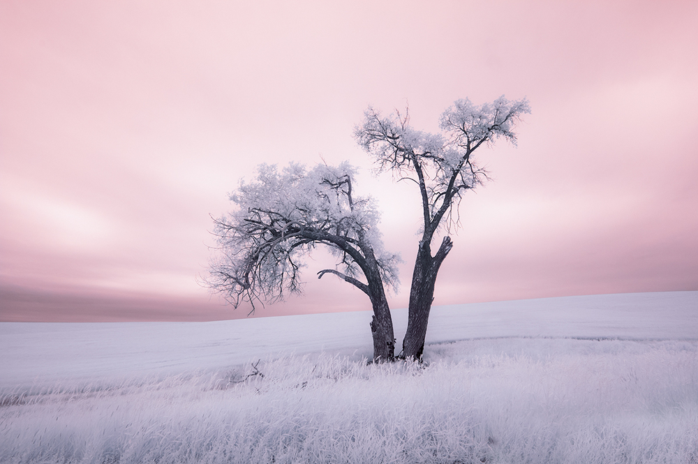 I found this lonely tree in the Palouse of Eastern Washington, image captured late June using infrared camera setup.