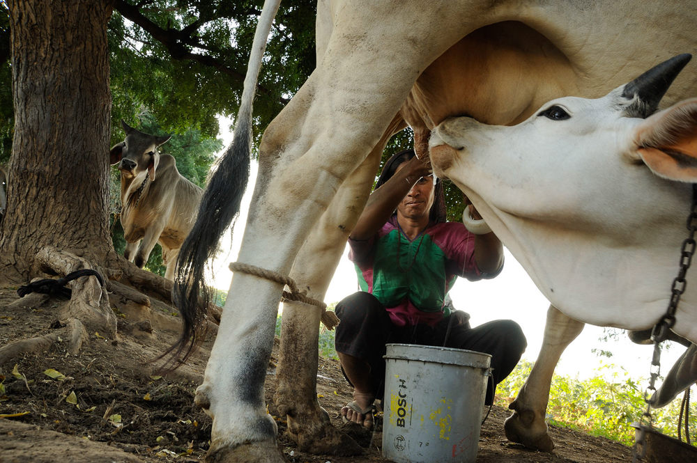 Cow Milking in Sumrassa, a rural village in Kutch, Gujarat, India