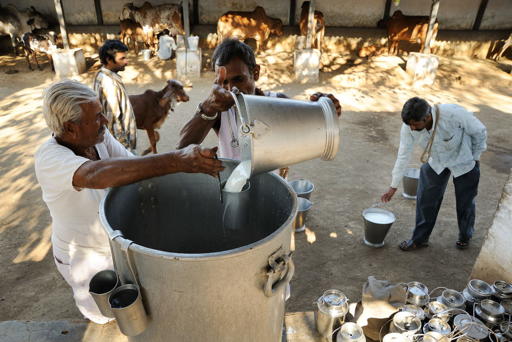 A specialized 'govshala' or cow-dairy for breeding hi-yield cows in Bhavnagar, Gujarat, India. Some cows at this govshala are known to give 8-10 liters a day.