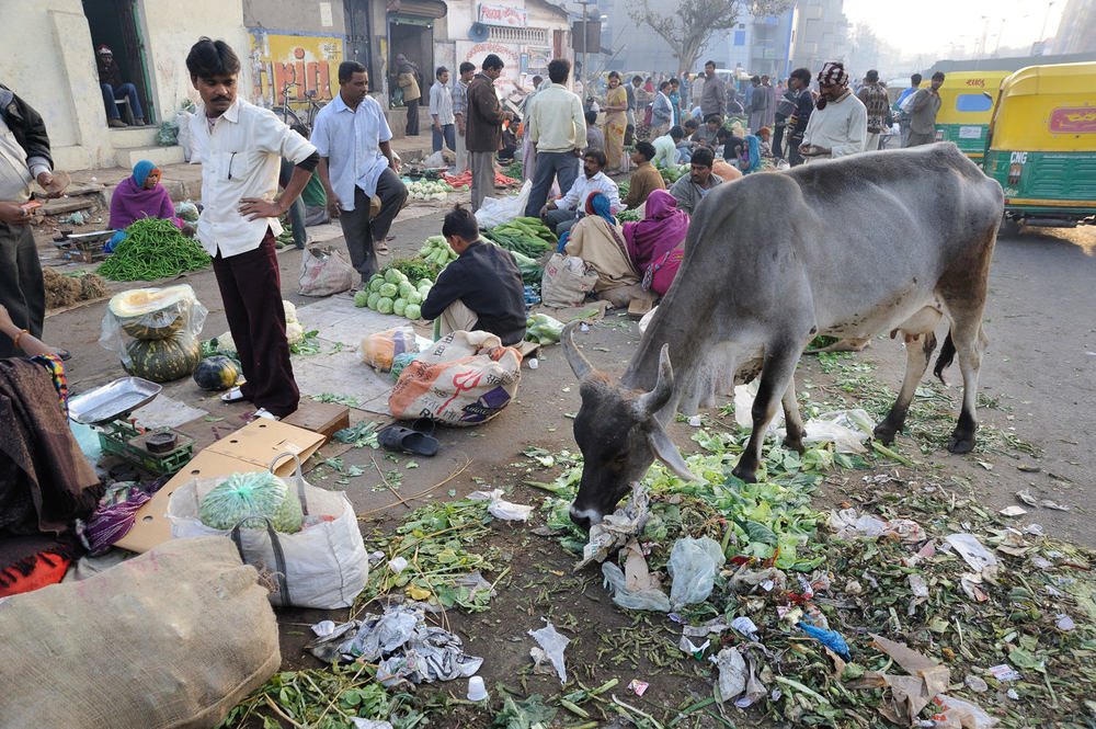 Respected throughout much of India, cows are free to roam the streets, returning to their owners instinctively by evening.