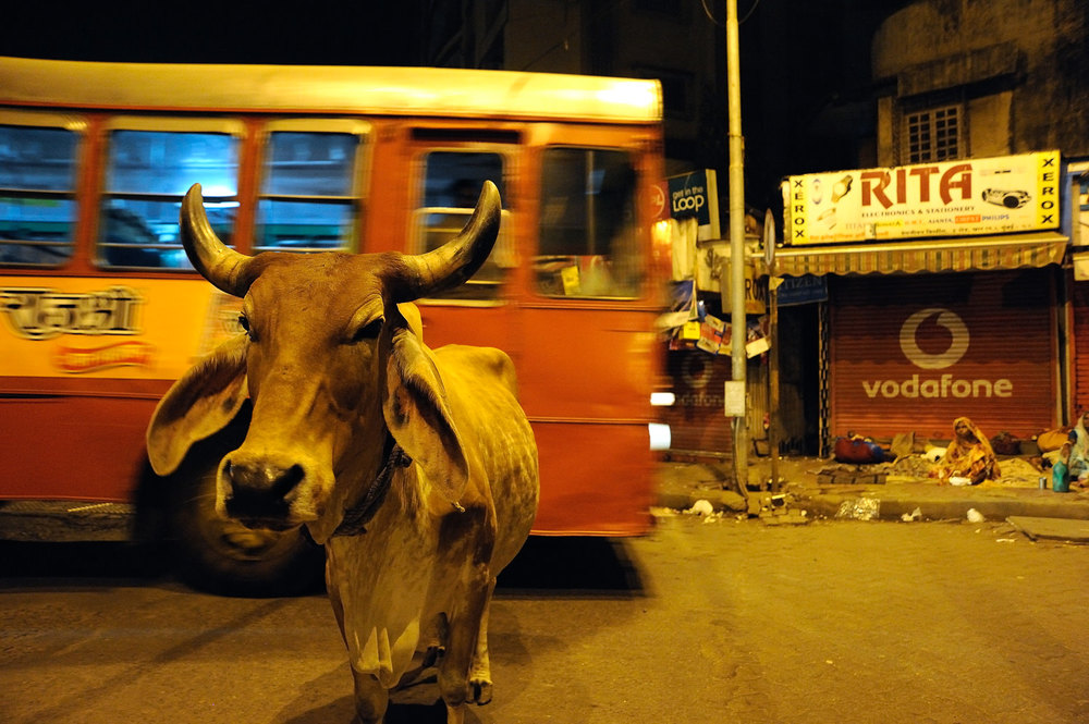 Cows are increasingly made homeless in larger, growing cities like here in Mumbai, India.