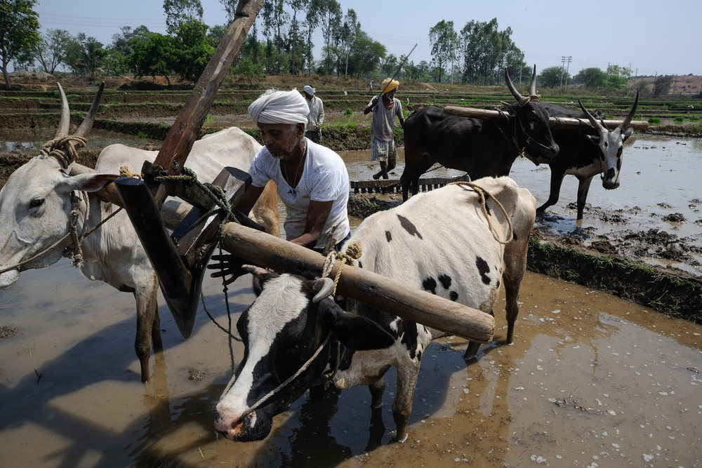 Cows pulling plows near Mysore, India.