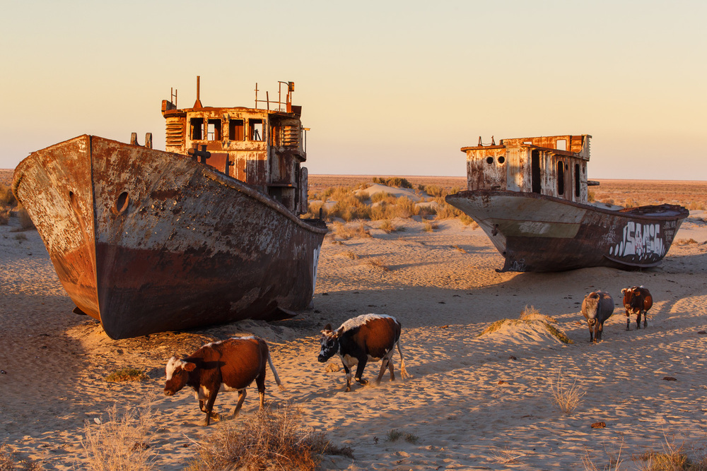 Cattle wander by the abandoned hulls of fishing boats on the dried bed of the Aral sea in Moynaq, Uzbekistan - formerly one of the four largest lakes in the world.