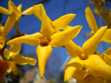 forsythia-and-lady-bug