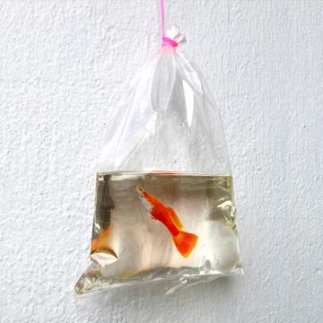 keng lye goldfish