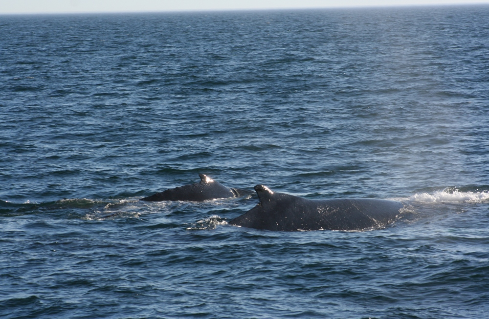Mama and baby humpback whales
