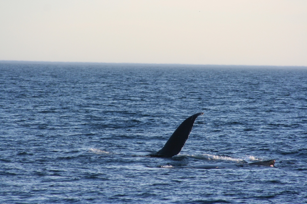 The last whale we saw waved goodbye