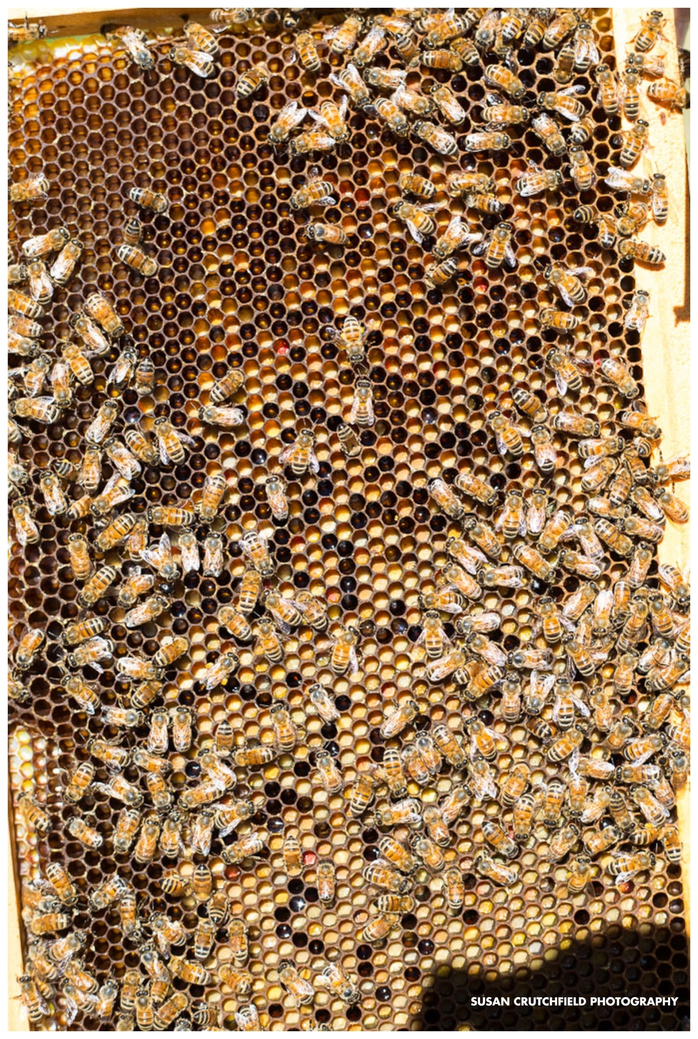 Honey Bees in Coweta County