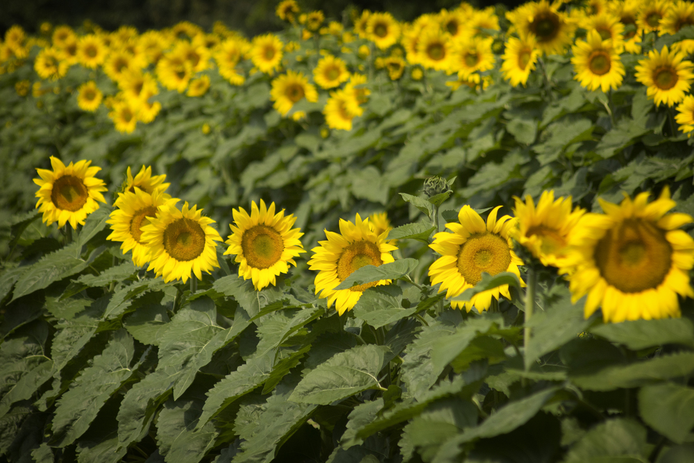 Linden Sunflowers