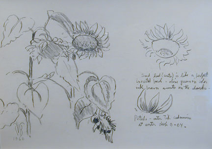 Studies of Sunflowers