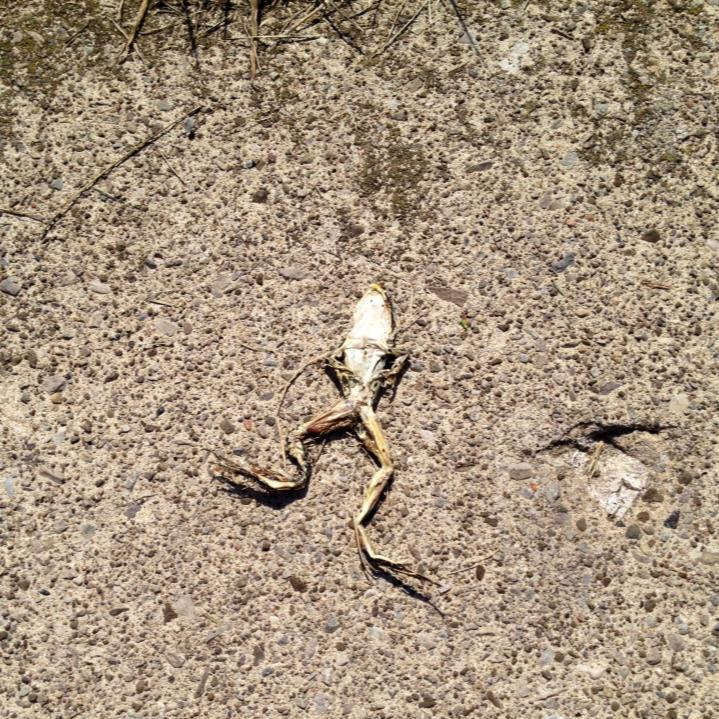 "I took this pic thinking it was a fun shaped piece of dried up yard waste because I'm an idiot. I actually thought, ""It's in the shape of a frog!"" Click. Kept walking and then looked at the pic when I got home. Now I'm that person who takes pictures of dead frogs. And also the person that then shares my findings."