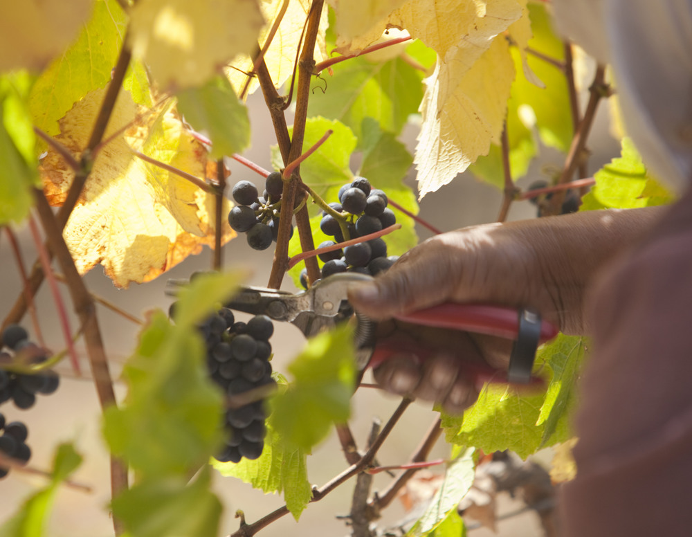 hand clipping pinot noir grapes