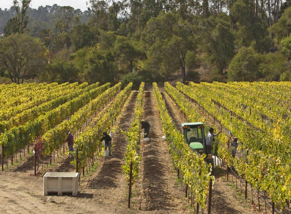 Pinot Noir harvesting at Hidden Springs estate vineyard