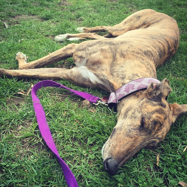 #Sunday #nap in #prospectpark. #greyhound #greyhoundsofig #adoptedgreyhound