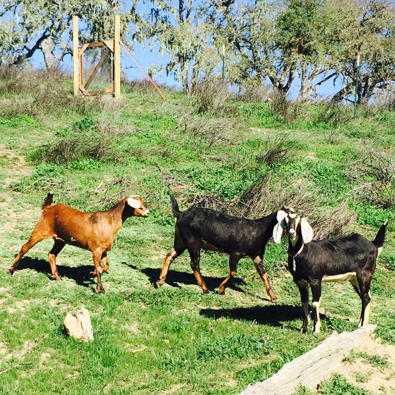 Spring goats at RDA