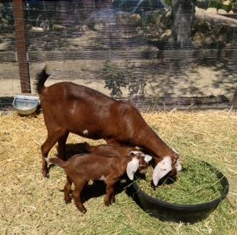 RDA Baby Goats.JPG