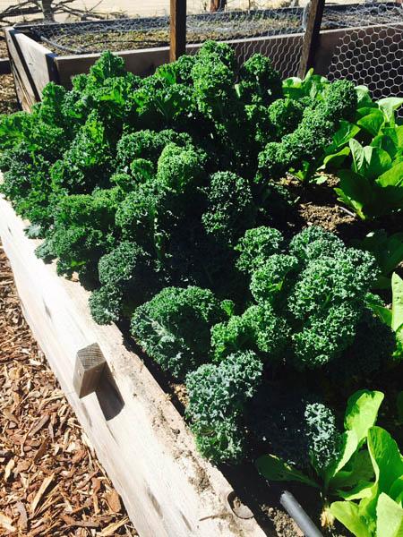 RDA Kale Garden.jpg