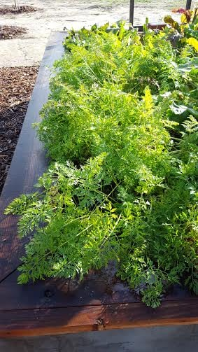 carrots in ground jan 2016.jpg