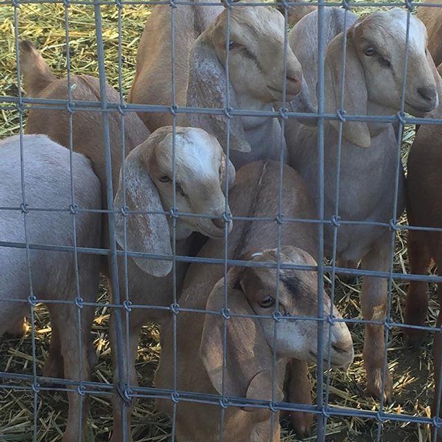 #babygoats #pasoroblesvacationrentals #farmstay #sleeps12