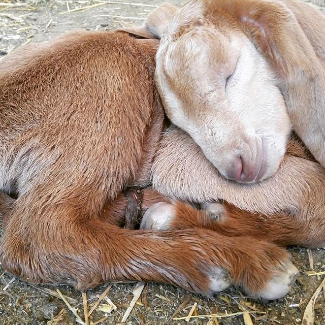 Come see Lulu Belle @ Rancho Dos Amantes. Our newest baby. #farmstay #sleeps12 #babygoats