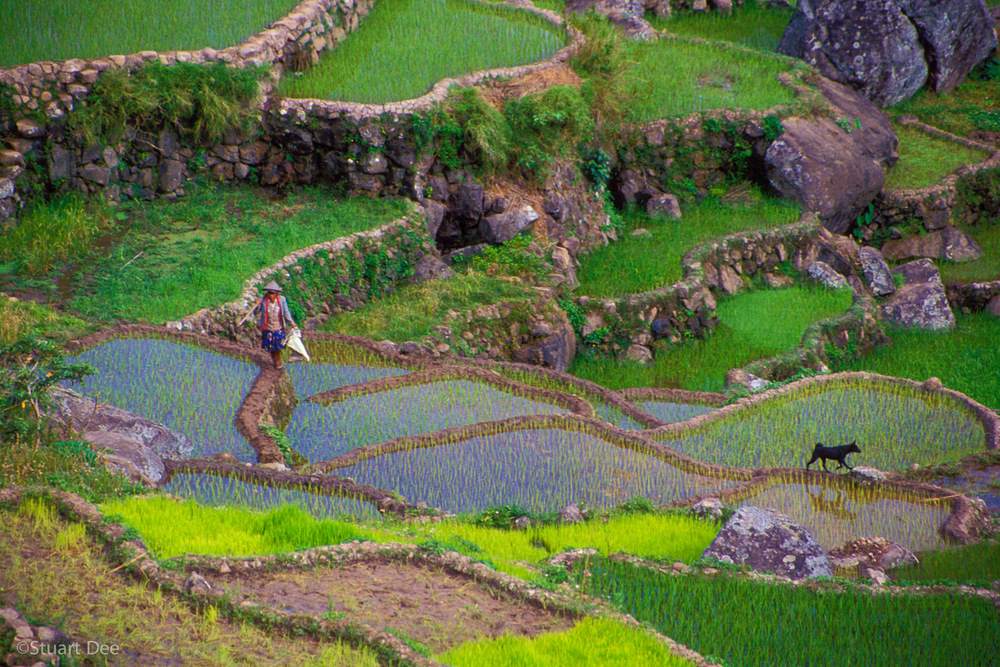 Farmer and Dog walking through the Rice Terraces, Sagada, Philippines